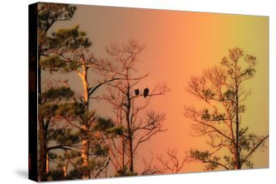 A Pair of Bald Eagles, Haliaeetus Leucocephalus, Illuminated by a Rainbow While Perched in a Tree-Robbie George-Stretched Canvas Print