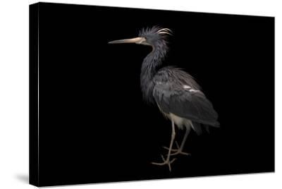 A Tricolored Heron, Egretta Tricolor, at the Cincinnati Zoo-Joel Sartore-Stretched Canvas Print