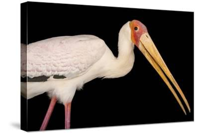 A Yellow-Billed Stork, Mycteria Ibis, at the Living Desert in Palm Desert, California-Joel Sartore-Stretched Canvas Print