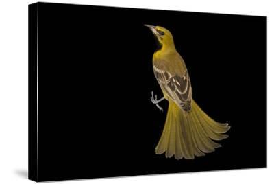 A Hooded Oriole, Icterus Cucullatus, at the Living Desert in Palm Desert, California-Joel Sartore-Stretched Canvas Print