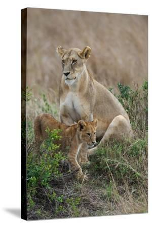 Portrait of a Lioness, Panthera Leo, and Her Cub-Bob Smith-Stretched Canvas Print