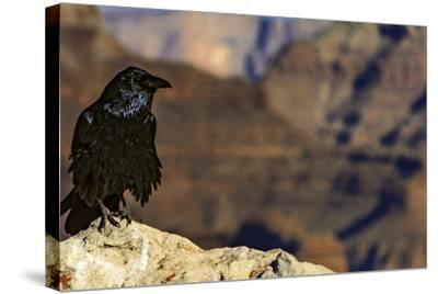 Portrait of a Crow, Corvus Species, Perched on a Rock at the Edge of the Grand Canyon-Babak Tafreshi-Stretched Canvas Print