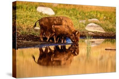 A Five Month Old Bison Calf Drinking Beside its Mother-Tom Murphy-Stretched Canvas Print