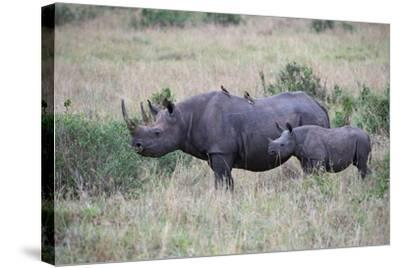 Portrait of a Rhinoceros and Her Calf in a Grassland. Oxpeckers are on the Mother's Back-Bob Smith-Stretched Canvas Print