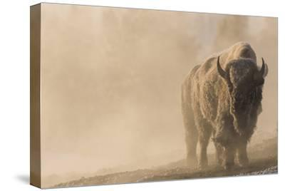 A Frost Covered Bison Stands in a Steamy Landscape-Tom Murphy-Stretched Canvas Print