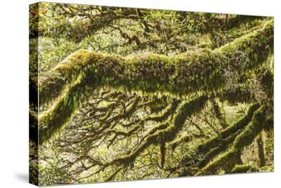Moss, Lichen, Liverwort, and Other Clinging Greenery Cover Tree Limbs-Michael Melford-Stretched Canvas Print