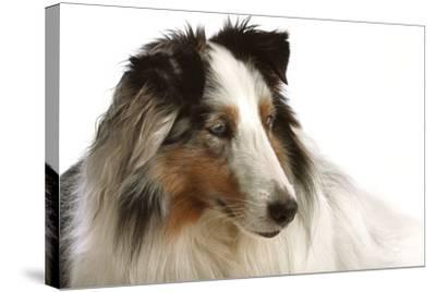 Close Up Portrait of a Pet Shetland Sheepdog-Vickie Lewis-Stretched Canvas Print