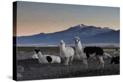 Llama Gathering in the Sajama National Park-Alex Saberi-Stretched Canvas Print
