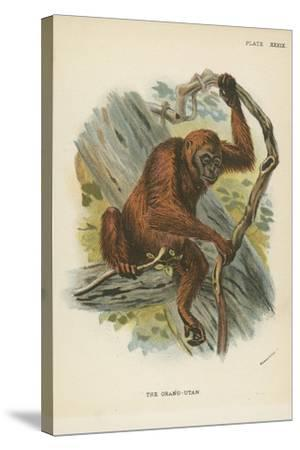 The Orang-Utan--Stretched Canvas Print