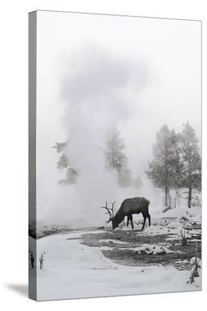 Reindeer Looking for Grass under the Snow--Stretched Canvas Print