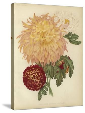 Three New Chrysanthemums--Stretched Canvas Print