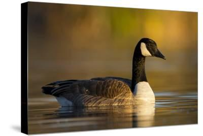 A Canada Goose on a Lake in Southern California-Neil Losin-Stretched Canvas Print