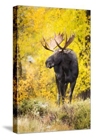 A Bull Moose with Wet Fur Walks from Fall Cottonwood Trees in Grand Teton National Park, Wyoming-Mike Cavaroc-Stretched Canvas Print