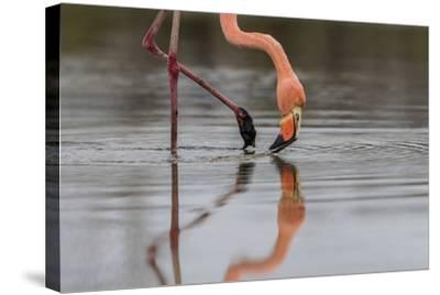 Flamingo Eating in the Galapagos Islands, Ecuador-Karine Aigner-Stretched Canvas Print