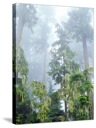 USA, Oregon, Old-Growth Douglas Fir Tree in the Rainforest-Jaynes Gallery-Stretched Canvas Print