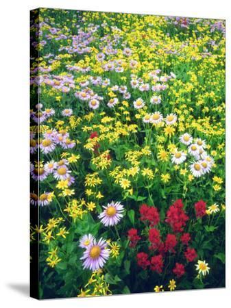 USA, Montana, Glacier National Park. Wildflowers-Jaynes Gallery-Stretched Canvas Print