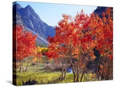 USA, California, Sierra Nevada. Autumn Red Aspen Trees-Jaynes Gallery-Stretched Canvas Print