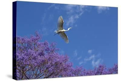 Mexico, San Miguel De Allende. Great Egret Flying over Jacaranda Tree-Jaynes Gallery-Stretched Canvas Print