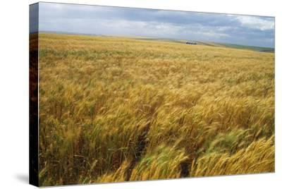 Wheat Blowing in the Wind-Darrell Gulin-Stretched Canvas Print