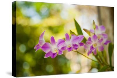 Thai Orchids-Erin Berzel-Stretched Canvas Print