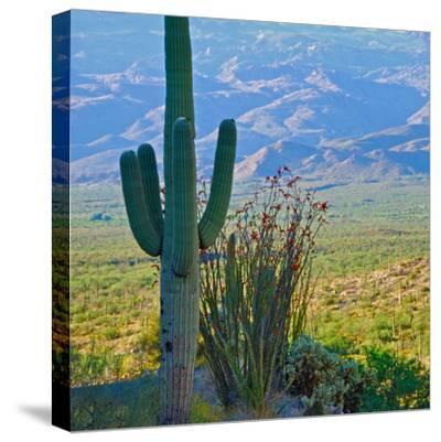 Saguaro Cactus in Saguaro National Park, Arizona,USA-Anna Miller-Stretched Canvas Print