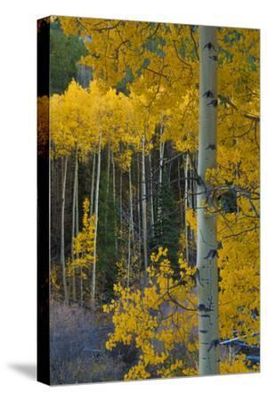 Autumn Aspens Along Cottonwood Pass, Rocky Mountains, Colorado,USA-Anna Miller-Stretched Canvas Print