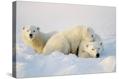 Polar Bears--Stretched Canvas Print
