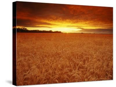 Wheat Field at Sunset--Stretched Canvas Print