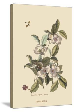 Stuartia - Camellia-Mark Catesby-Stretched Canvas Print