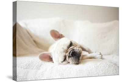 Usa, New York State, New York City, Portrait of French Bulldog Sleeping on Sofa-Jessica Peterson-Stretched Canvas Print