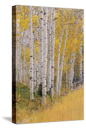 Aspen Trees in Autumn with White Bark and Yellow Leaves. Yellow Grasses of the Understorey. Wasatch-Mint Images - David Schultz-Stretched Canvas Print
