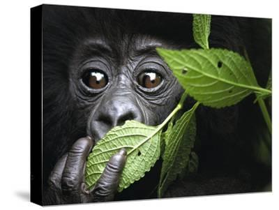 Baby Mountain Gorilla, North West Rwanda-David Yarrow Photography-Stretched Canvas Print