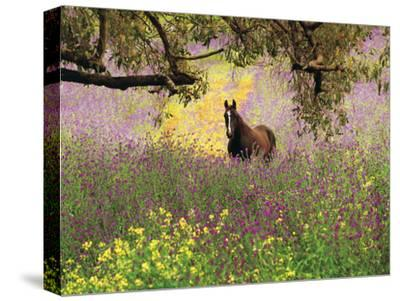 Thoroughbred Horse among Wildflowers in the Chittering Valley, Western Australia-Peter Walton Photography-Stretched Canvas Print