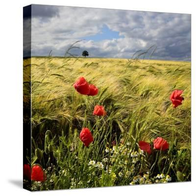 Poppies and Barley Field-pierre hanquin photographie-Stretched Canvas Print