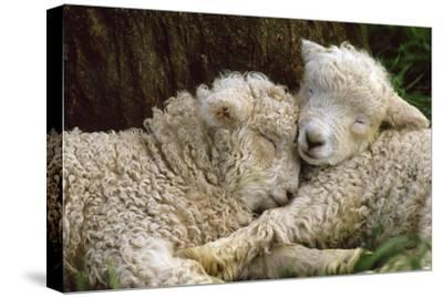 Tukidale Sheep Lambs, Raised for Carpet Wool--Stretched Canvas Print