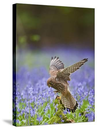 Kestrel Female Landing on Stump in Bluebell Wood--Stretched Canvas Print