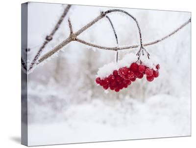Red Berries in Snow--Stretched Canvas Print