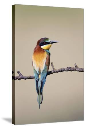 European Bee-Eater--Stretched Canvas Print