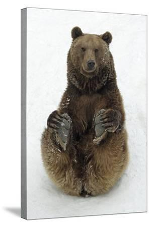 European Brown Bear Male Sitting in Snow--Stretched Canvas Print