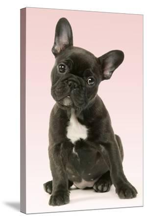 French Bulldog Puppy--Stretched Canvas Print