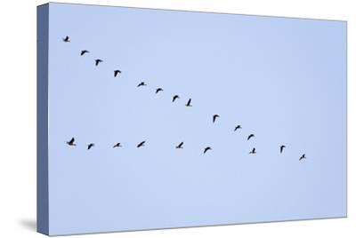 Pink-Footed Geese Flying in a 'V' Formation--Stretched Canvas Print