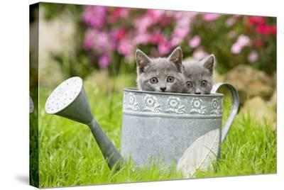 Two Chartreux Kittens in Watering Can--Stretched Canvas Print
