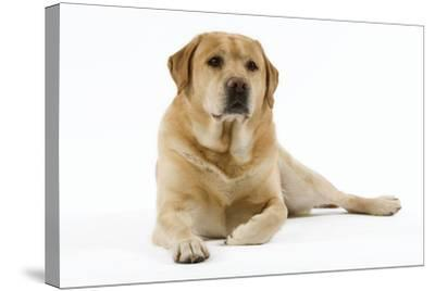 Yellow Labrador Lying Down--Stretched Canvas Print