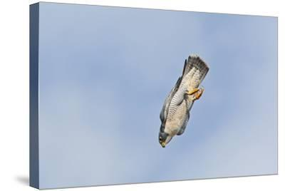Peregrine Falcon Adult in Flight--Stretched Canvas Print