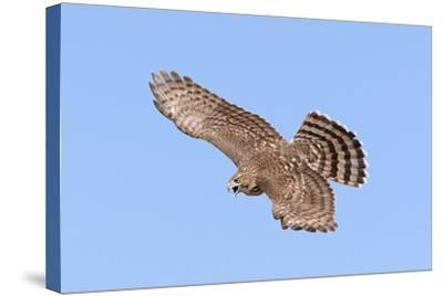 Cooper's Hawk Immature in Flight--Stretched Canvas Print
