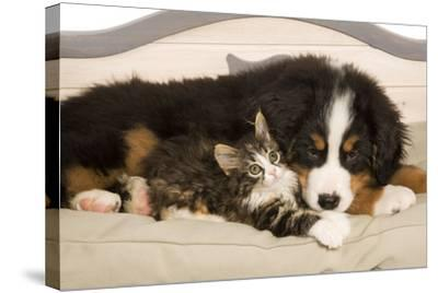 Bermese Mountain Dog Puppy with Kitten on Dog Bed--Stretched Canvas Print