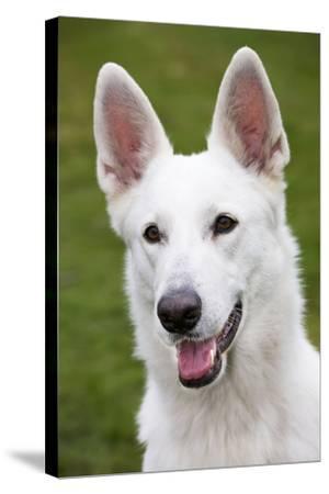 White Swiss Shepherd Dog--Stretched Canvas Print