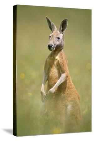 Red Kangaroo--Stretched Canvas Print