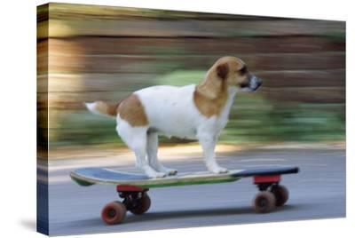 Jack Russell Terrier Skateboarding--Stretched Canvas Print