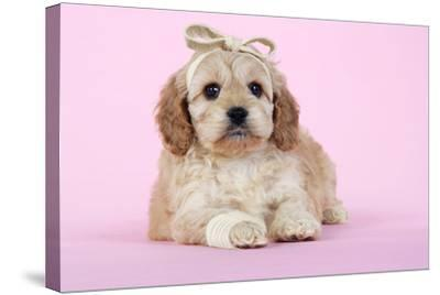 Cockerpoo Puppy (7 Weeks Old) with Bandaged--Stretched Canvas Print